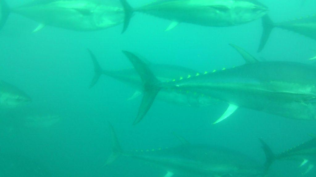nuotare con i tonni